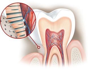 I tubuli dentali scoperti conducono al nervo lo stimolo doloroso